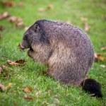 Marmot — Stock Photo #7421921