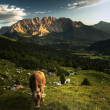 Splendid alpine scenery with a cow — Stock Photo