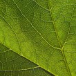 Stock Photo: Green leaf close-up