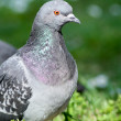 Pigeon — Stock Photo #7423133