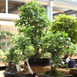 Bonsai trees - Stock Photo