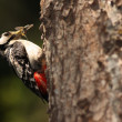 Great Spotted Woodpecker. — Stock Photo #7423415
