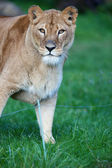 Close-up portrait of a majestic lioness (Panthera Leo) — Stock Photo