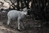 Sevimli genç koyun — Stok fotoğraf