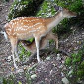 Sika deer (lat. Cervus nippon) doe — Stock Photo