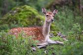 Sika deer — Stock Photo