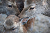 Two sika deer does taking care of a young sika deer (lat. Cervu — Stock Photo