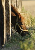 Pony poking his head through paling — Stock Photo