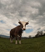 Cow (intentionally distorted by a fisheye lens) — Stock Photo
