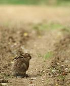 Cute little young hare sitting on a path. — Stock Photo
