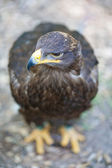 Steppe eagle - close-up portrait of this majestic bird of prey — Stock Photo