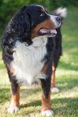 Bernese Mountain Dog (Berner Sennenhund, Bernois) — Stock Photo