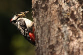 Great Spotted Woodpecker. — Stock Photo