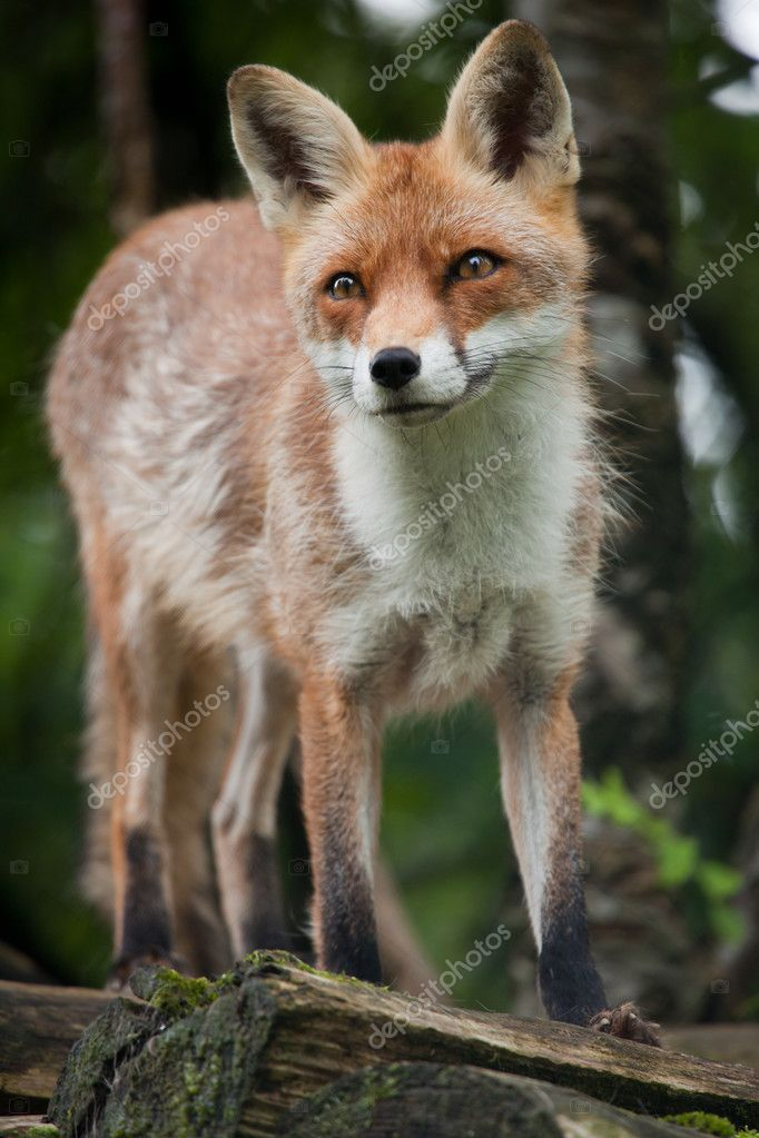 Red Fox (Vulpes vulpes) — Stock Photo #7421888