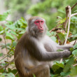 Stock Photo: Monkey ape eating seeds