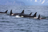 Killer whale group in the wild — Stock Photo
