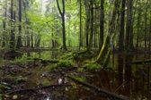 Summertimesunrise in wet deciduous stand of Bialowieza Forest — Stock Photo