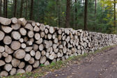 Poplar tree logs stacked lying one by one — Stock Photo