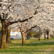 Blooming Cherry Blossoms — Stock Photo