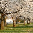 Blooming Cherry Blossoms - Stock Photo