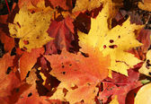 Fallen Maple Leaves Backgroung — Stock Photo