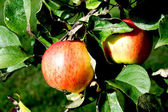 Two apples hanging on appletree green branch — Stock Photo
