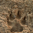 Stock Photo: Dog footprints in sand