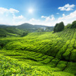 thee plantage cameron highlands, Maleisië — Stockfoto