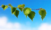 Leaf of birch and spring day — Stockfoto