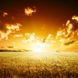 Field of barley and sunset - Stock Photo