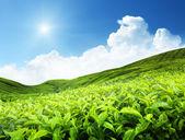 Teeplantage — Stockfoto