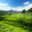 Teplantation Cameron highlands, Malaysia — Stock Photo #6994259