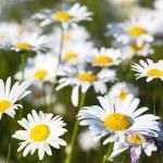 Bereich der Gänseblümchen-Blumen — Stockfoto #7125449