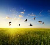 Gebied van gras en vliegende vogels — Stockfoto