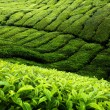 thee plantage cameron highlands, Maleisië — Stockfoto #7323300