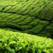 Tea plantation Cameron highlands, Malaysia — Stockfoto