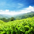 Tea plantation Cameron highlands, Malaysia — Stock Photo #7323338