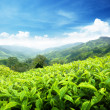 Teplantation Cameron highlands, Malaysia — Stock Photo #7323338