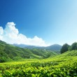 thee plantage cameron highlands, Maleisië — Stockfoto #7323409