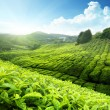 Tea plantation Cameron highlands, Malaysia — Stock Photo #7323410