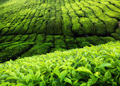 Tea plantation in Malaysia — Stock Photo