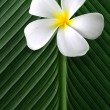 Frangipani / Plumeria on green leaves — Stock Photo