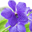 Stock Photo: Violet orchid vanda