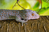 Gecko on a rough wall in nature — Stock Photo