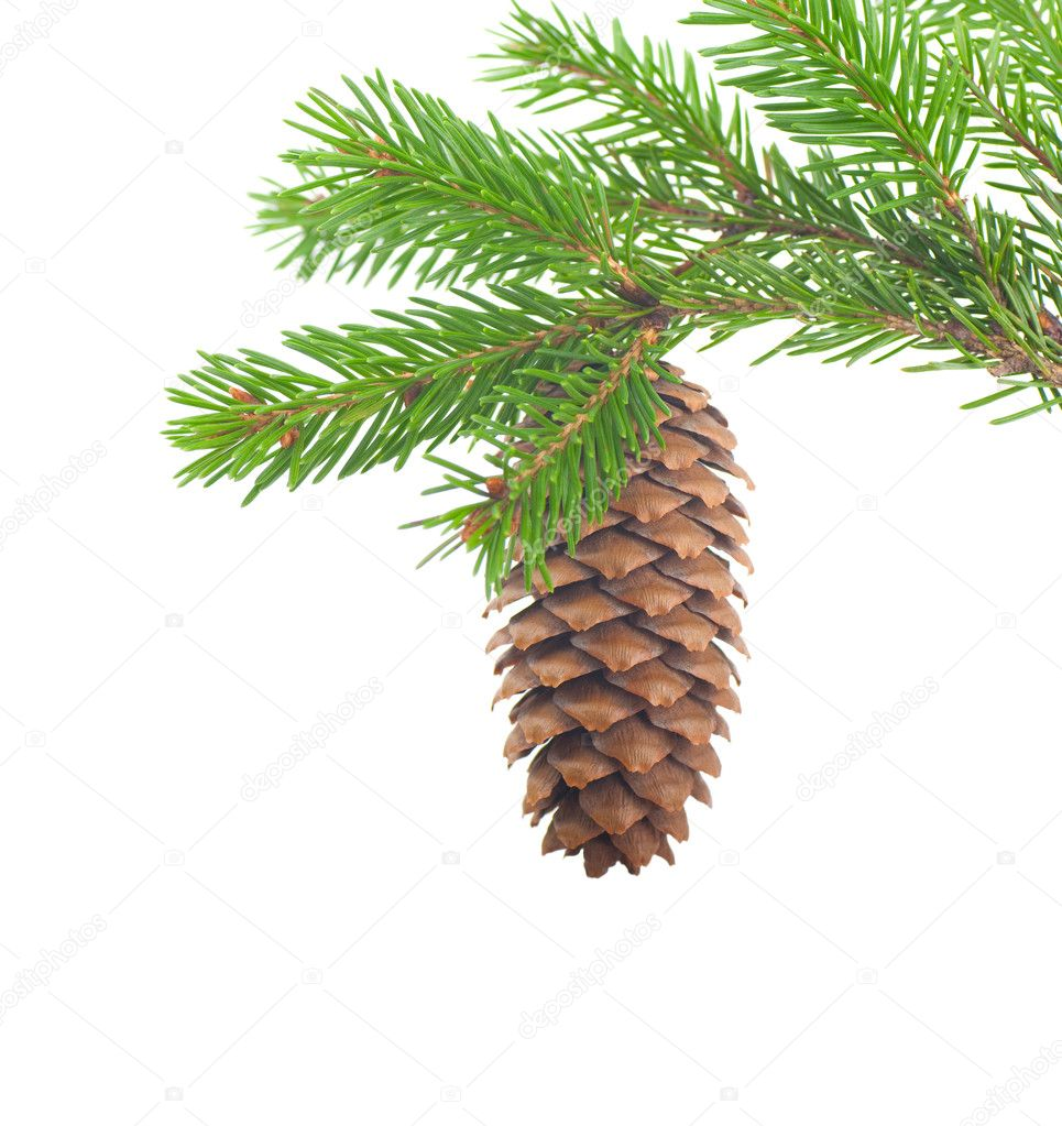 Spruce branch with cone on a white background — Stock Photo #7246149
