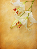 Lily flower on old paper — Stock Photo