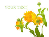 Calendula flowers — Stock Photo