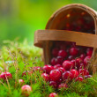 Fresh cranberries in a basket — Stock Photo #7906560
