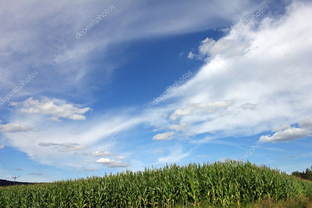 The beautiful white and blue sky over a maize field  Stock Photo #7171534
