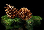 Green spruce branches and cones. — Stock Photo